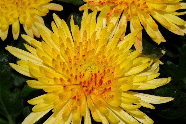 chrysanthemums-1127502_1920-2
